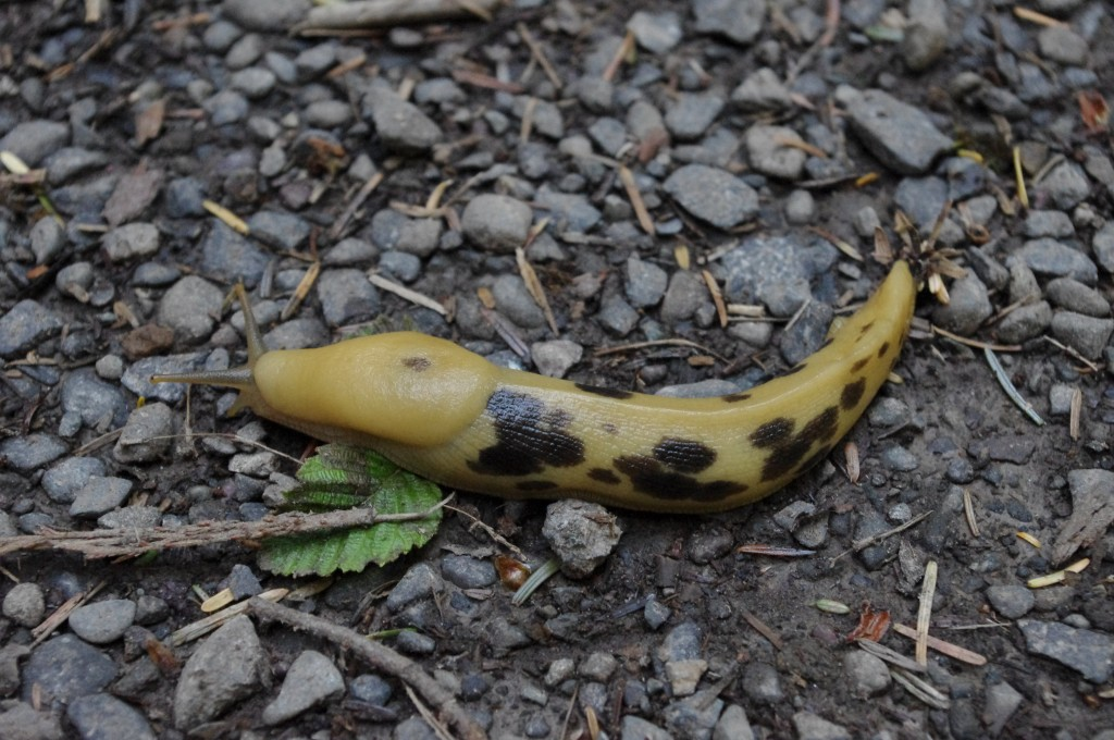 A photo of a banana slug